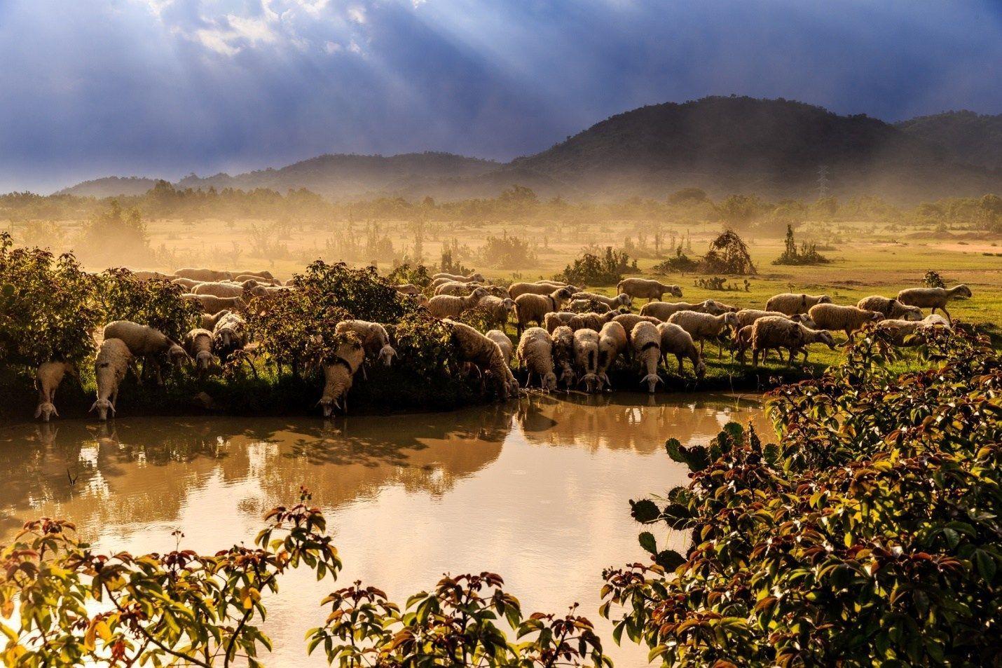 Đồng cừu Sơn Hải  - Dichvuhay.vn