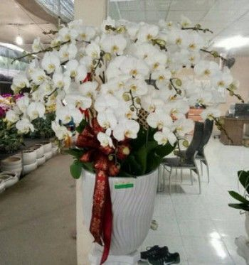 Lan màu trắng mã số sg326 - dulichso.vn - Dichvuhay.vn