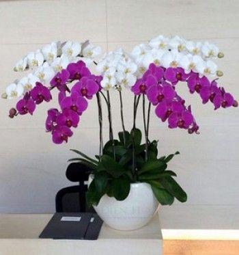 Mẫu lan trắng tím sg309 - dulichso.vn - Dichvuhay.vn