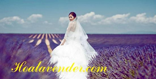 bán sỉ hoa lavender - dulichso.vn - Dichvuhay.vn